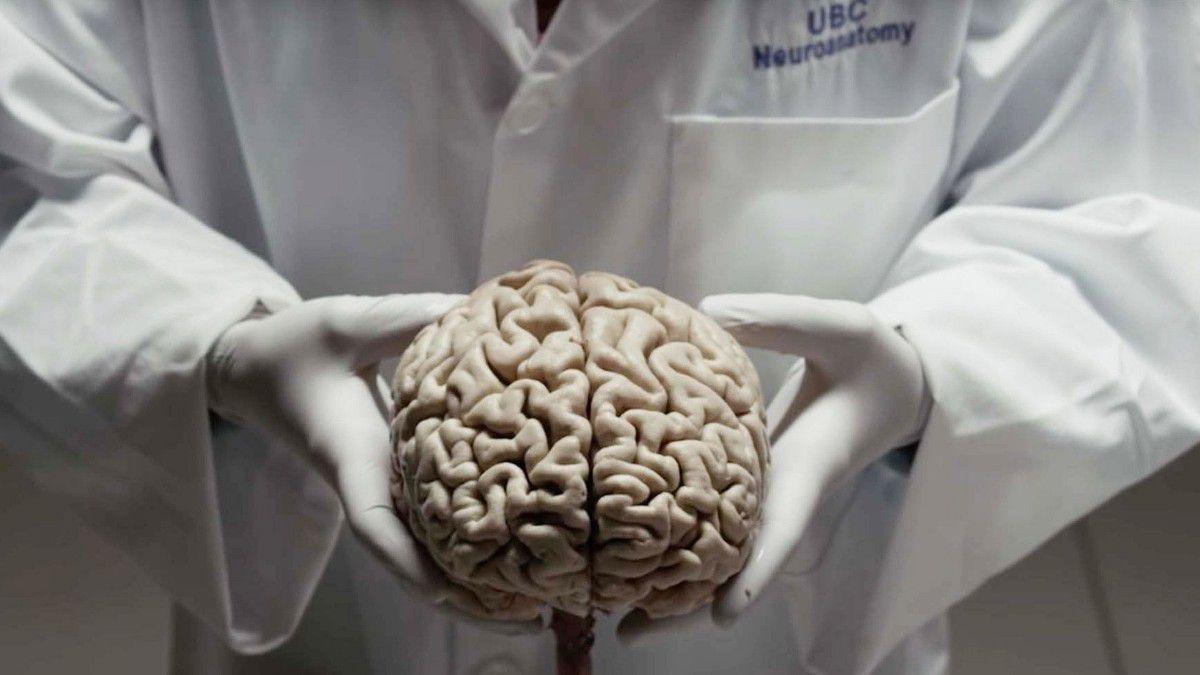 Beyincik, insan beyninin evriminde önemli bir rol oynamış olabilir.